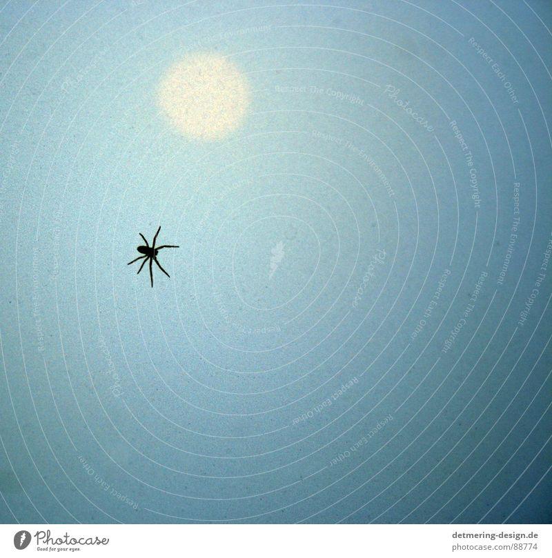 spinne im Sonnenuntergang* Spinne Glasscheibe Milchglas Insekt hell-blau hellgelb Tier Verlauf krabbeln Ekel Angst gruselig gefährlich 8 beine Schatten