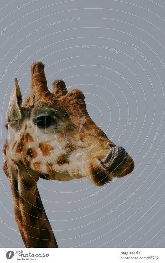 Schmeckt tierisch gut lecker Ernährung Säugetier Giraffe Zunge lustig Auge schnautze Hals