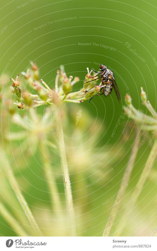 Hilfe, ich rutsche... Natur Pflanze grün ruhig Tier klein Fliege sitzen warten Gelassenheit geduldig Schwebfliege