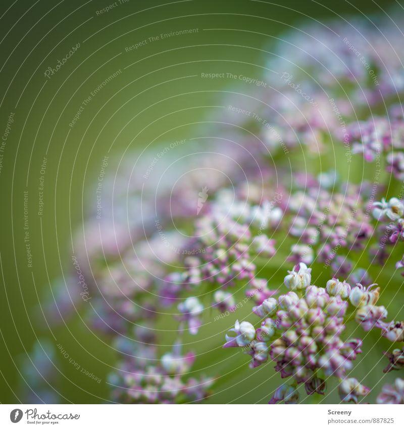 Klein und fein Natur Pflanze grün weiß Blume Blüte natürlich klein rosa Sträucher Blühend rund zart Duft