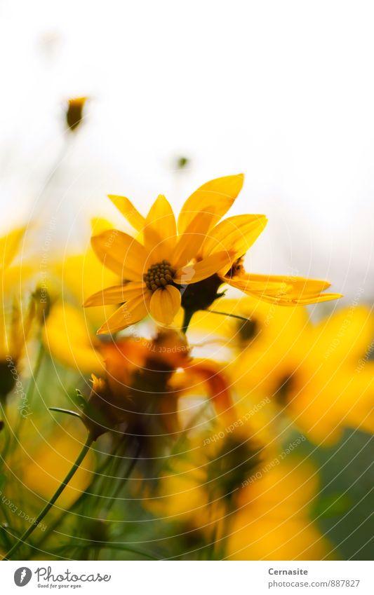 Gelbe Blumen Natur Pflanze Sonnenlicht Sommer Schönes Wetter Garten ästhetisch authentisch Duft frisch schön natürlich Wärme feminin wild gelb gold grün weiß