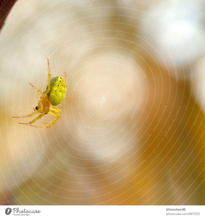 In luftiger Höhe... Tier gelb natürlich Beine Arbeit & Erwerbstätigkeit Angst Wildtier warten beobachten bedrohlich Netz gruselig fangen Jagd krabbeln Ekel