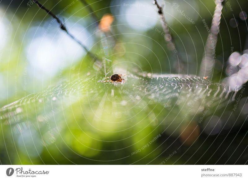 Tierisch gut: Spinnerin Wald 1 Ekel Angst Spinnennetz spiderman Frühling Herbst Gegenlicht Farbfoto mehrfarbig Außenaufnahme Schwache Tiefenschärfe
