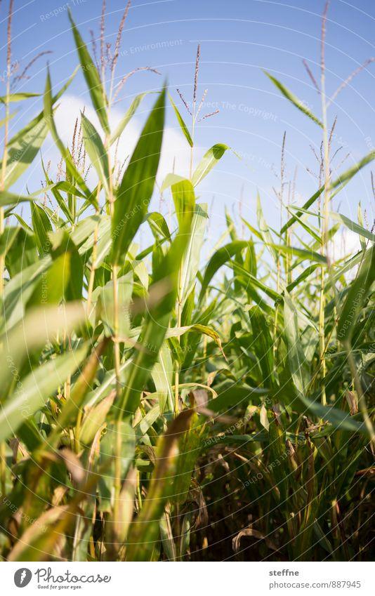 Cornfeld Herbst Pflanze Essen Landwirtschaft Mais Maisfeld September Oktober maislabyrinth Labyrinth Bauernhof Farbfoto Außenaufnahme Textfreiraum unten