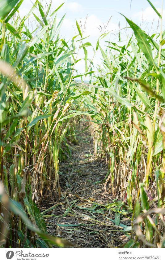 Trampelpfad Herbst Nutzpflanze Mais Maisfeld Essen Irrgarten Wege & Pfade Ernte Farbfoto Außenaufnahme