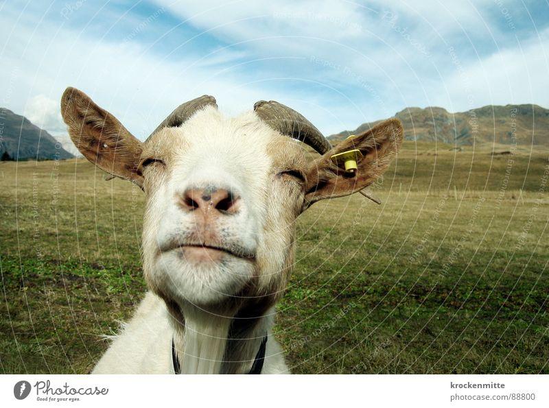 die weise weiße Ziege Alp Flix Ziegen Tier Wiese Schweiz Kanton Graubünden Ziegenfell Gras Alm grün Bergwiese genießen Säugetier Horn geiß vorausschauen Rasen