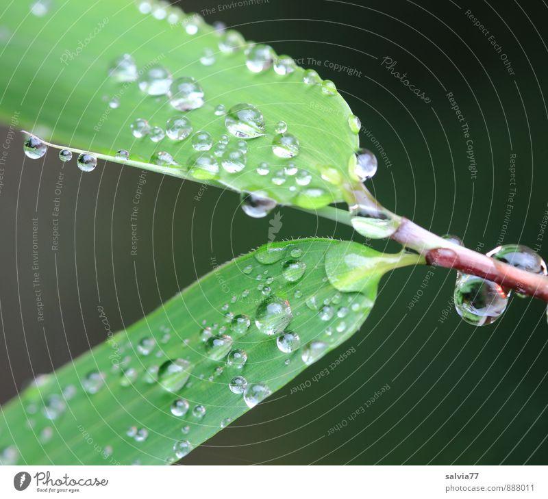 Regenperlen Pflanze Wasser Wassertropfen Sommer Herbst Klima Blatt Grünpflanze berühren glänzend Wachstum einfach frisch klein nah nass natürlich rund grün