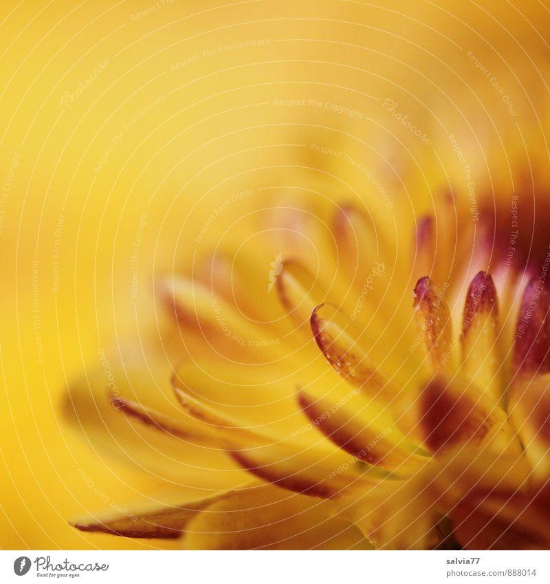 Chrysantheme Natur Pflanze schön Farbe Sommer Sonne Erholung rot Blume ruhig gelb Wärme Herbst Blüte Gesundheit Garten