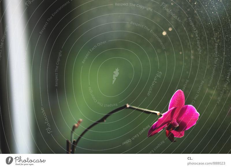 dreckige fenster Häusliches Leben Wohnung Dekoration & Verzierung Natur Pflanze Blume Orchidee Blüte Topfpflanze Fenster Fensterscheibe Fensterrahmen Blühend