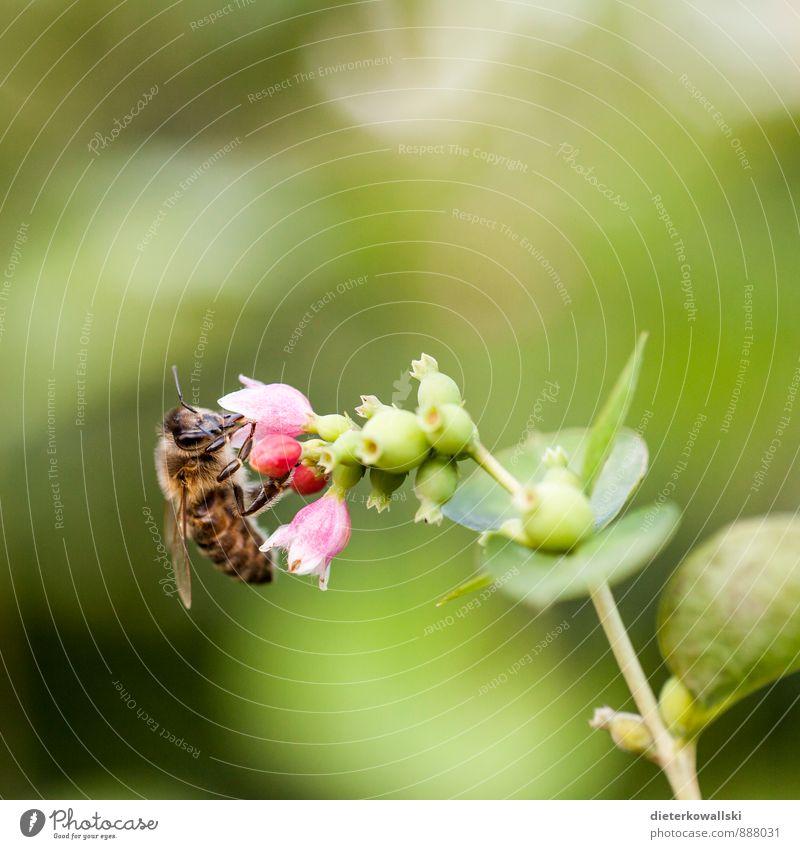 Fleißiges Bienchen Natur Pflanze Tier Umwelt Biene Fressen