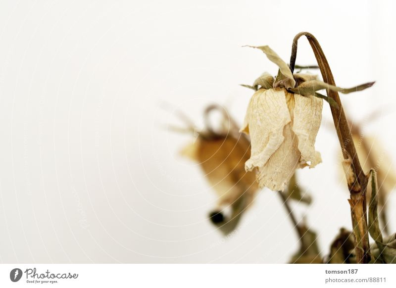 wie die zeit vergeht alt Blume Zeit Rose Trauer Verzweiflung verdorrt