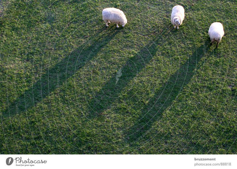 Scheinriesen auf Rheinwiesen Schaf Wiese Pansenmagen Hirte Gras Wolle Lamm Bock rasenmähen Schatten Schafmilch Huftiere Zibbe Scrapie Maul- & Klauenseuche