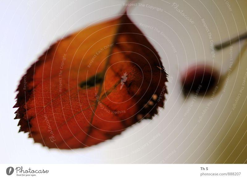 Blatt Natur Pflanze Herbst verblüht ästhetisch authentisch einfach elegant natürlich Erholung Farbe einzigartig ruhig harmonisch schön Farbfoto Außenaufnahme