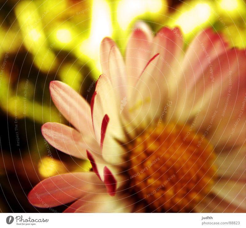 dægesege Frühling Blume Gänseblümchen Pflanze Blüte Wiese Blumenwiese grün gelb rosa weiß Gras Graffiti Sonne Nahaufnahme Natur