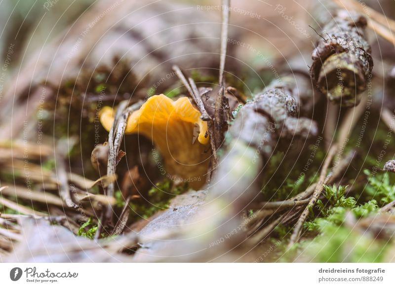 Kleiner Pfifferling Natur Erde Wald Leben Sinnesorgane Waldboden Pilz Pfifferlinge Tannennadel Moos Geäst Pilzsucher Speisepilz Pilzsaison Farbfoto