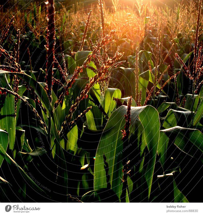 es gibt mais Natur Sonne grün Pflanze dunkel hell Landwirtschaft Ernte Bioprodukte Mais Getreide