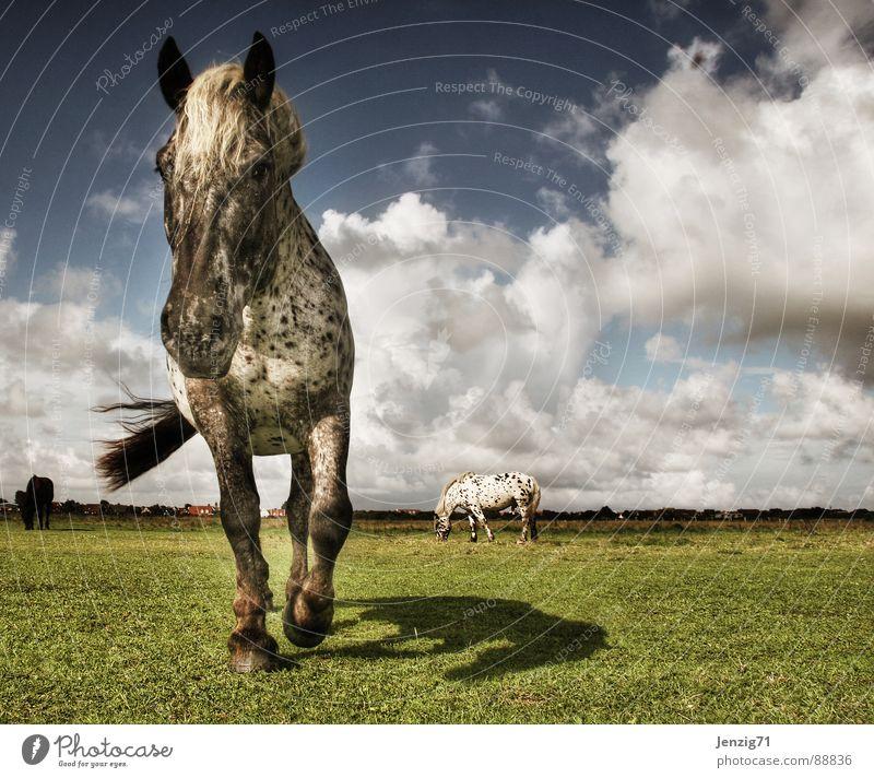 Kleiner Onkel. Pferd Schecke Mähne Fell Weide Wiese Gras Ostfriesland Langeoog Tier Wolken Sturm Unwetter unbeständig Säugetier Perde Walach Reiter Perdesport