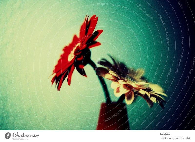 rot, gelb, grün Blume Gerbera Vase Wand Raum schwarz Am Rand Unschärfe Stengel Blüte Blütenblatt Lomografie cross Schatten körnung