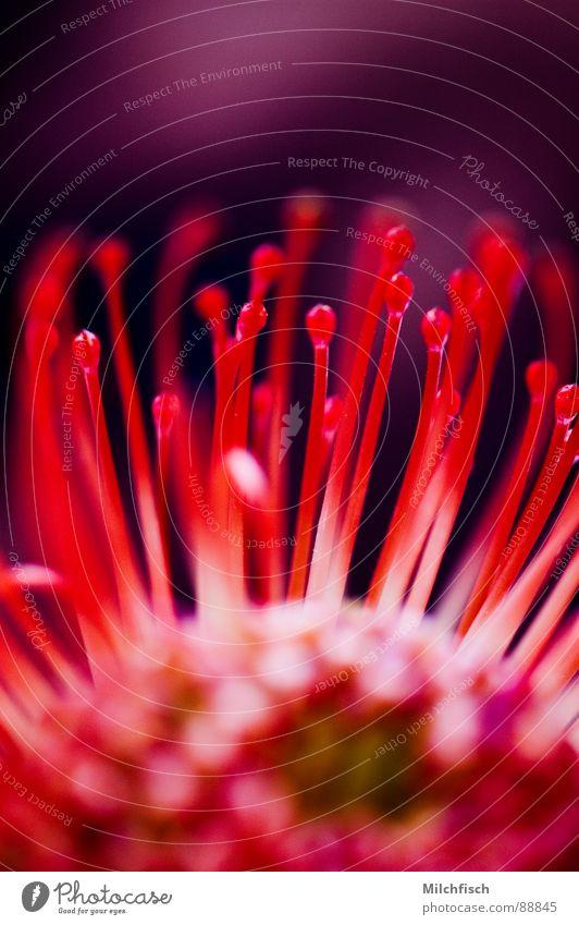 Kaprose Blume Pflanze rot Blüte Brand Afrika Fühler typisch Südafrika Tentakel Warnfarbe Protea