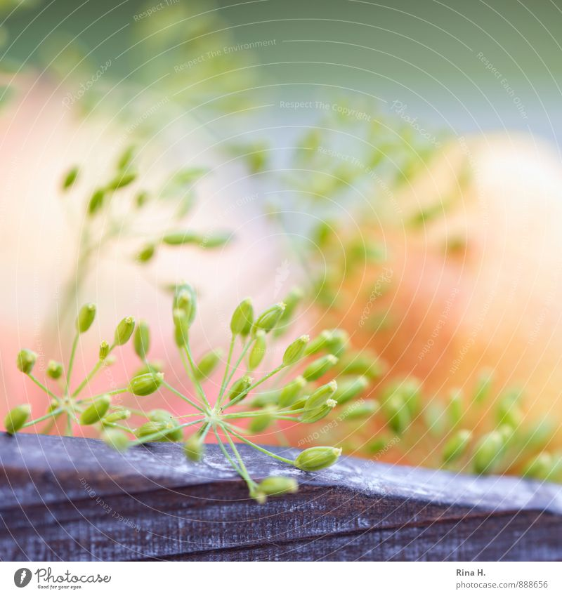 Dilllll Sommer natürlich Schönes Wetter weich Kräuter & Gewürze Quadrat Samen Nutzpflanze Dill