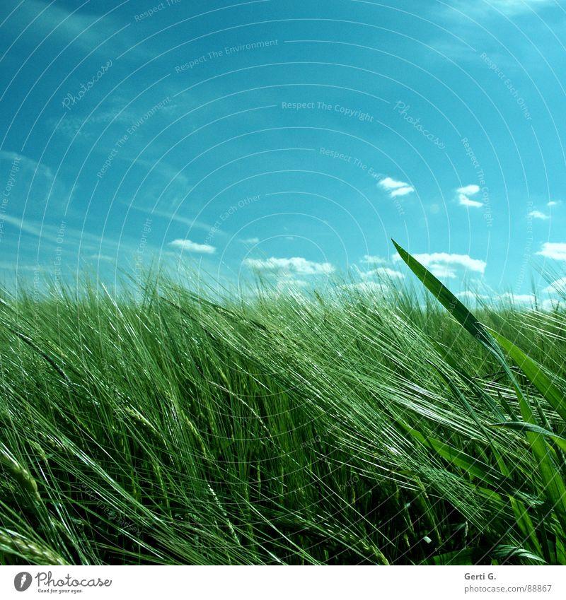 hide-and-seek saftig mehrfarbig himmlisch tauchen Feld Kornfeld Zerealien Körnerbrot Wind wehen durcheinander grün Ähren Landwirtschaft Ackerbau himmelblau