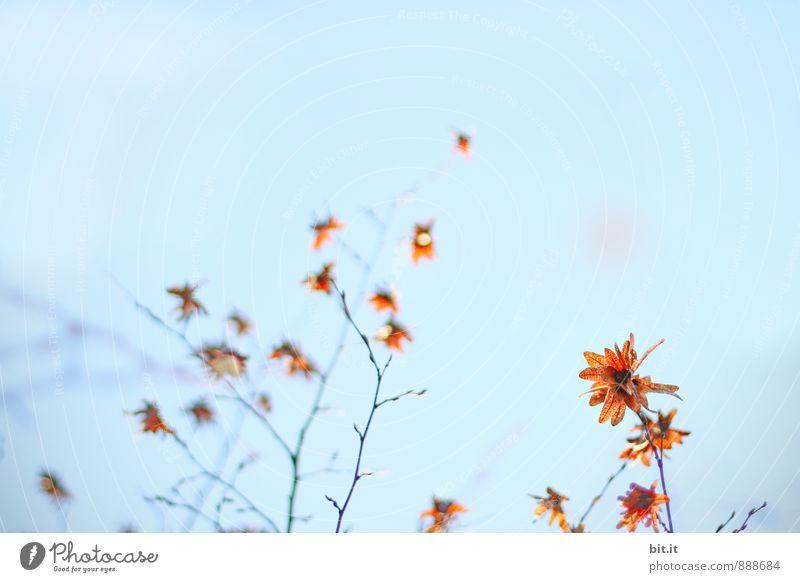 Herbtsterne Lifestyle harmonisch Sinnesorgane Erholung ruhig Meditation Feste & Feiern Natur Himmel Wolkenloser Himmel Herbst Sträucher Garten