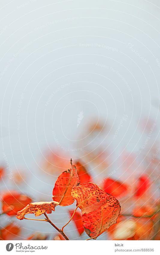 Flammen im Wind Natur Pflanze Herbst Schönes Wetter Vergänglichkeit Herbstlaub herbstlich Herbstfärbung