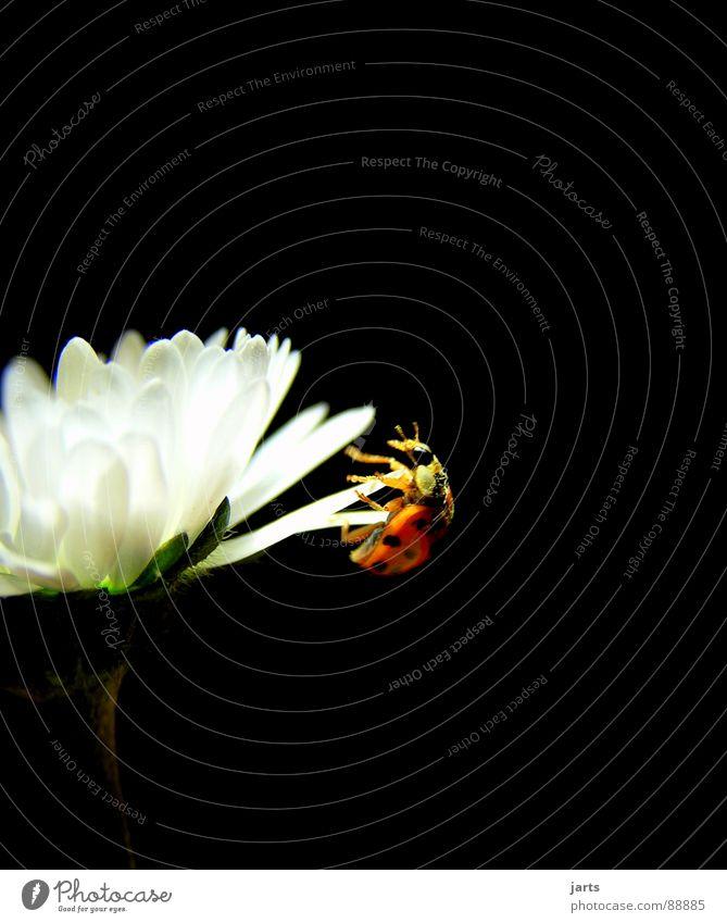 Kraftakt Blume Leben Glück Kraft Angst gefährlich Insekt Mut Gänseblümchen Panik anstrengen Marienkäfer Käfer Absturz Unbekümmertheit