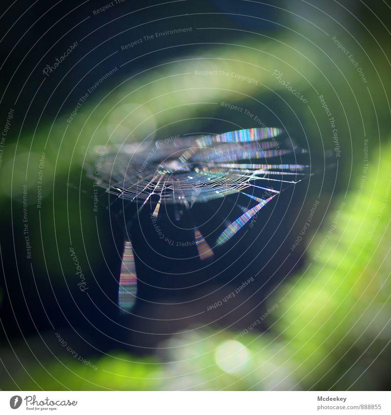 Dreamcatcher Natur Pflanze Sonnenlicht Sommer Schönes Wetter Baum Grünpflanze Wildpflanze Wald Nutztier Wildtier Spinne Netz Tauziehen warten authentisch