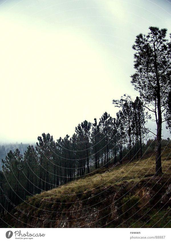 pinaceae I Natur Baum ruhig Wolken Wald dunkel kalt Berge u. Gebirge wandern Ast Baumkrone verloren Zweig Geäst Kiefer Waldlichtung