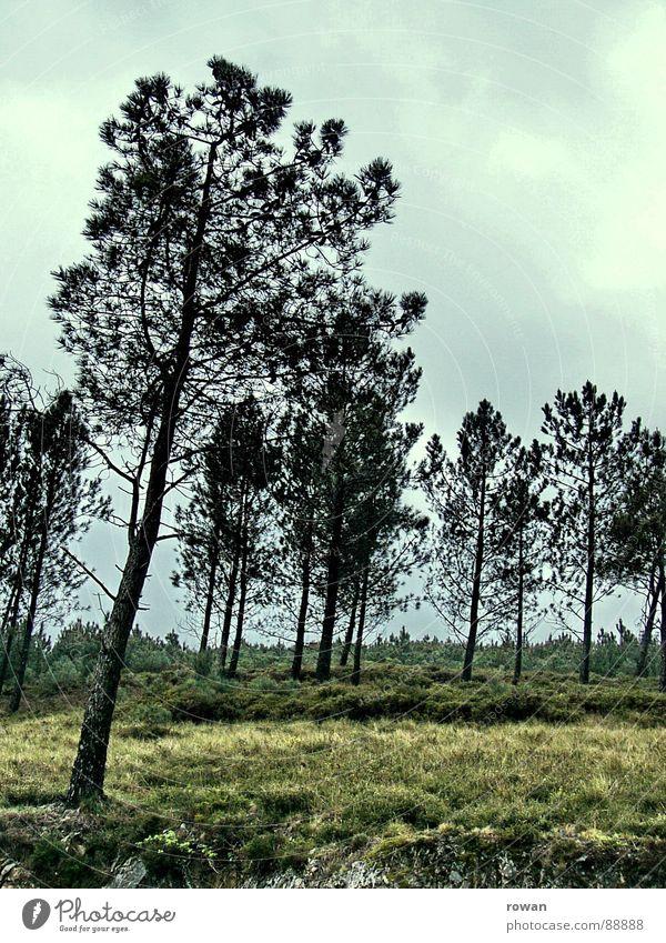 pinaceae II Natur Baum ruhig Wolken Wald dunkel kalt Berge u. Gebirge wandern Ast Baumkrone verloren Zweig Geäst Kiefer Waldlichtung