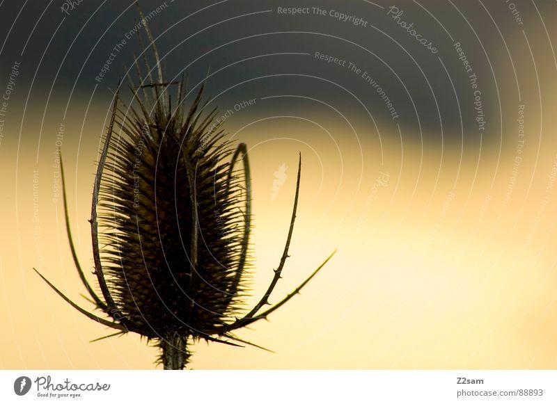 allein auf weiter flur Natur Pflanze Blume Einsamkeit gelb Beine Feld Arme stehen Spinne Verlauf Stachel