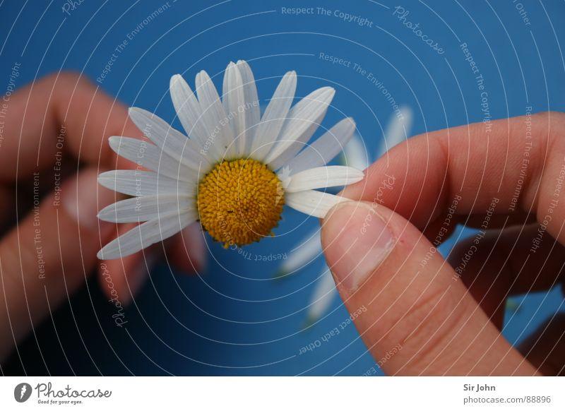 Er liebt mich (nicht) Blume Finger Blüte Blütenblatt Hoffnung Schicksal unsicher Gänseblümchen Zukunft Partnerschaft ratlos Religion & Glaube taumeln Frühling