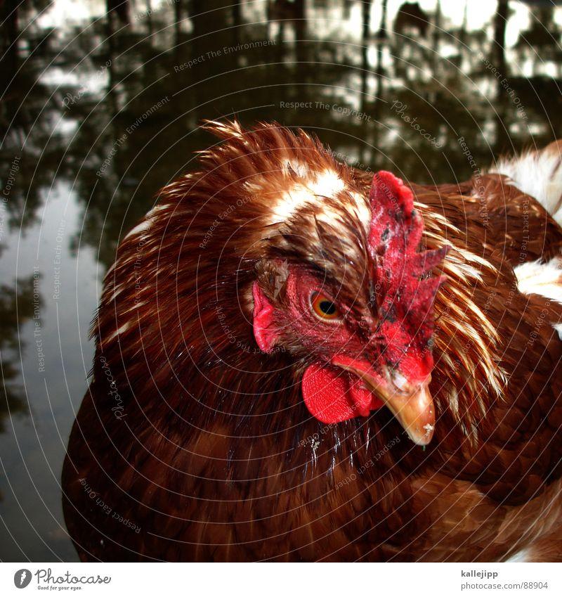 wie bei carl auf dem land Hahn Morgen Vogel Landwirtschaft Legebatterie Legehenne Tier Nutztier Haustier Schnabel Landei Zoo Streichelzoo Brandenburg Bauernhof