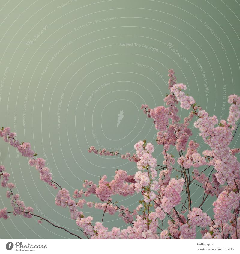 tokio hotel Baum Blume Blüte Frühling Frucht Wachstum Blühend Japan Kirsche Tokyo Kirschblüten