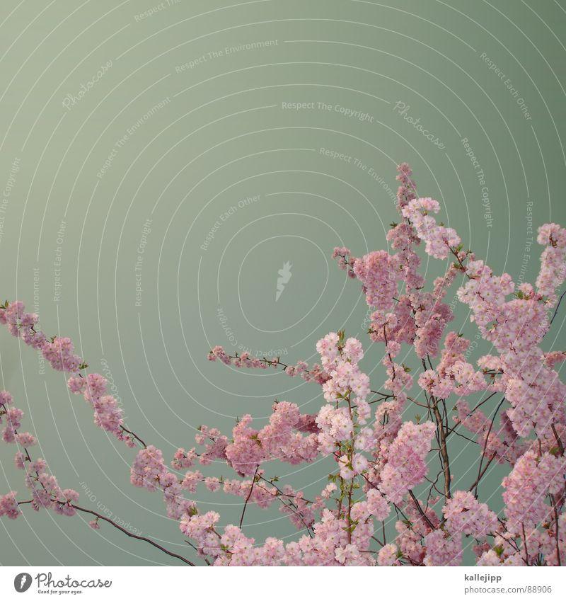 tokio hotel Kirsche Kirschblüten Blume Blüte Frühling Wachstum Japan Tokyo Baum Frucht Blühend teeny schwarm kallejipp