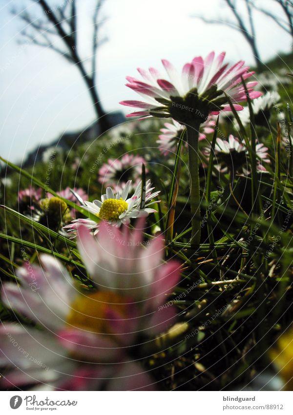 approaching bumblebee Gänseblümchen Wiese tief Gras Blume grün rosa weiß Baum nah Frühling Wildtier meadow flower Garten Himmel Natur