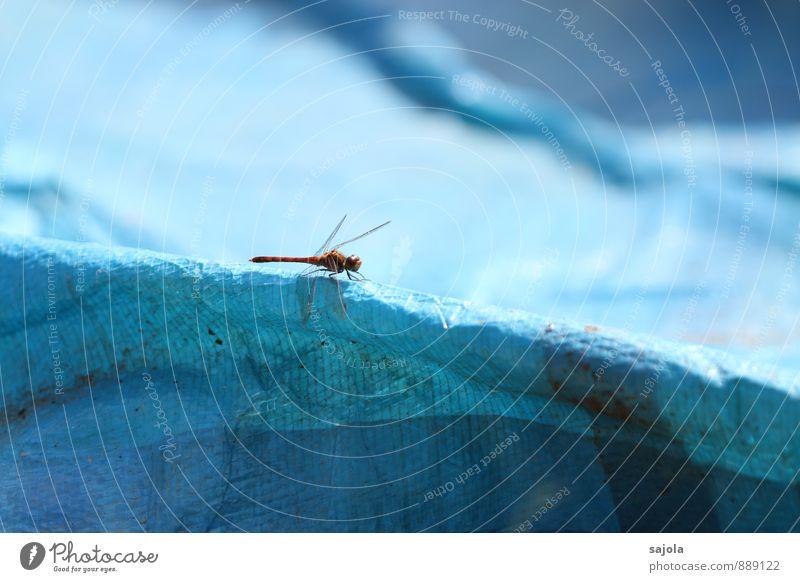 rote drachenfliege Natur Tier Wildtier Insekt Libelle 1 sitzen warten ästhetisch blau Kontrast Farbfoto Außenaufnahme Makroaufnahme Menschenleer
