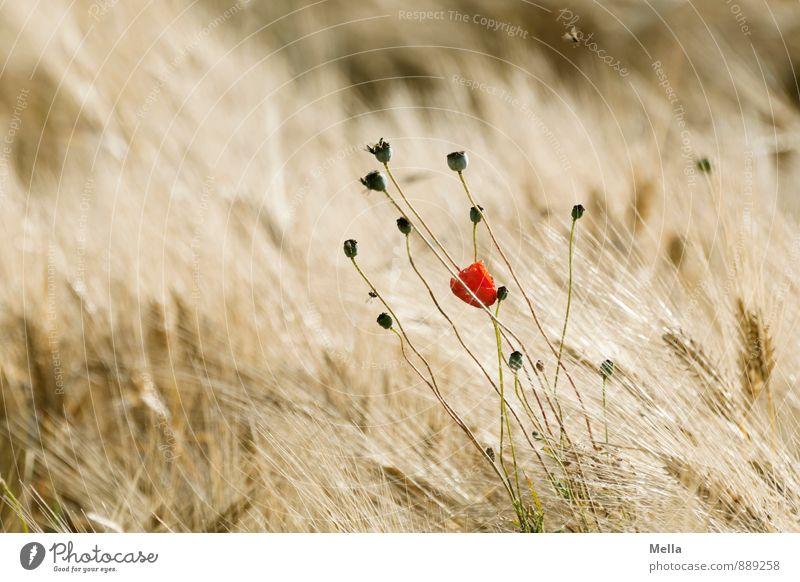 Einst Umwelt Natur Pflanze Sommer Blume Blüte Mohn Mohnblüte Mohnkapsel Getreide Getreidefeld Ähren Gerste Gerstenfeld Feld Blühend verblüht dehydrieren