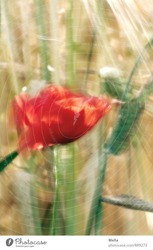 Flattermohn Landwirtschaft Forstwirtschaft Umwelt Natur Pflanze Sommer Blume Blüte Mohn Mohnblüte Getreide Halm Feld Bewegung Blühend natürlich Vergänglichkeit