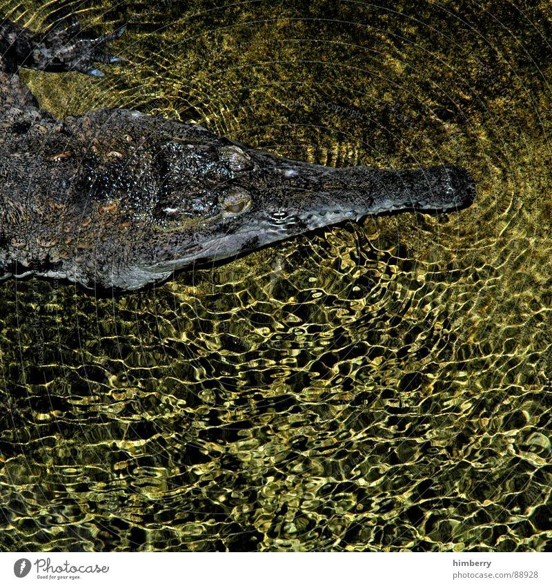 crocodile dundee Wasser Tier gefährlich Fluss bedrohlich Zoo Aquarium Bach Reptil Tarnung gepanzert Südamerika Panzerechsen Krokodil Fleischfresser Tarnfarbe
