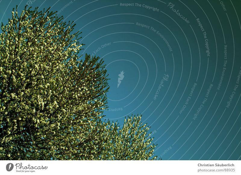 Die Bäume schlagen aus Himmel weiß Baum blau Pflanze Frühling Sträucher Schönes Wetter Frühlingsgefühle
