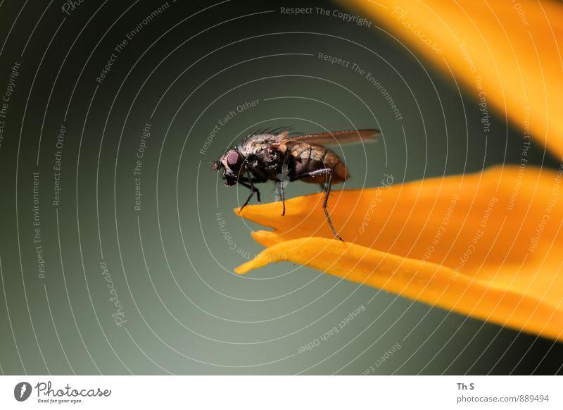 Fliege Natur Pflanze grün Sommer ruhig Tier schwarz Herbst Blüte natürlich orange elegant authentisch ästhetisch einfach