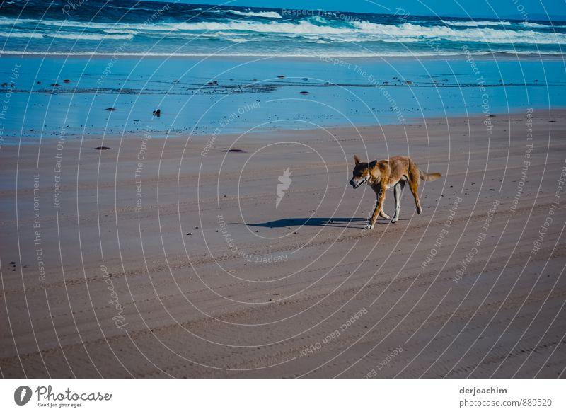 Begegnung mit einem Dingo Wasser Sommer Tier Strand Umwelt außergewöhnlich braun Freizeit & Hobby Erde laufen Insel Ausflug beobachten Schönes Wetter