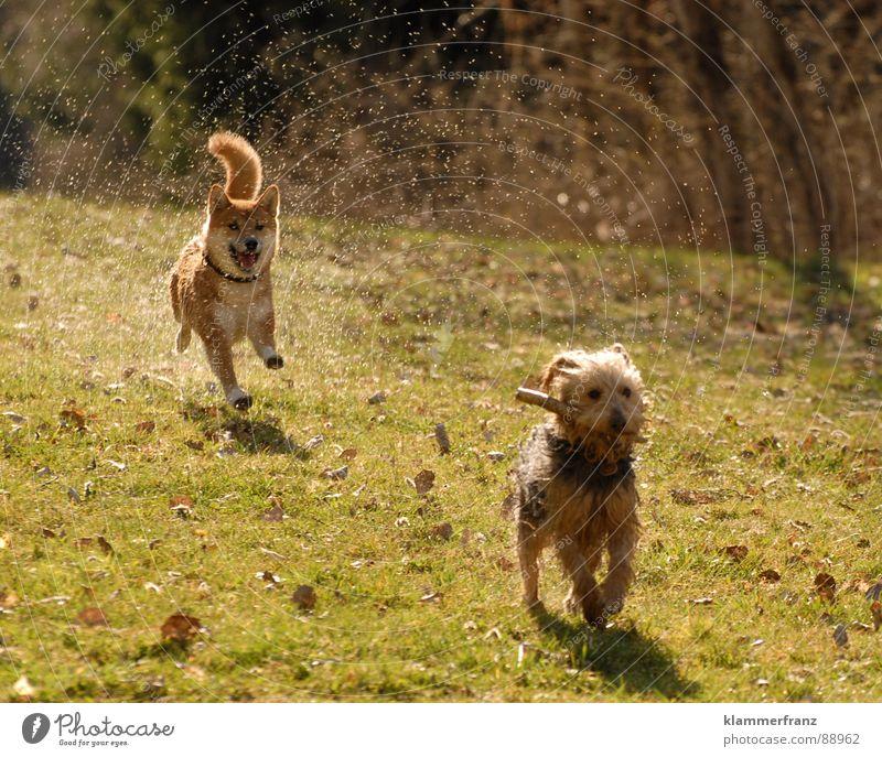 8 Pfoten sagen Hund Freude Tier Wiese Bewegung Spielen lachen laufen Energiewirtschaft Geschwindigkeit nass Wassertropfen fantastisch fahren rennen nah