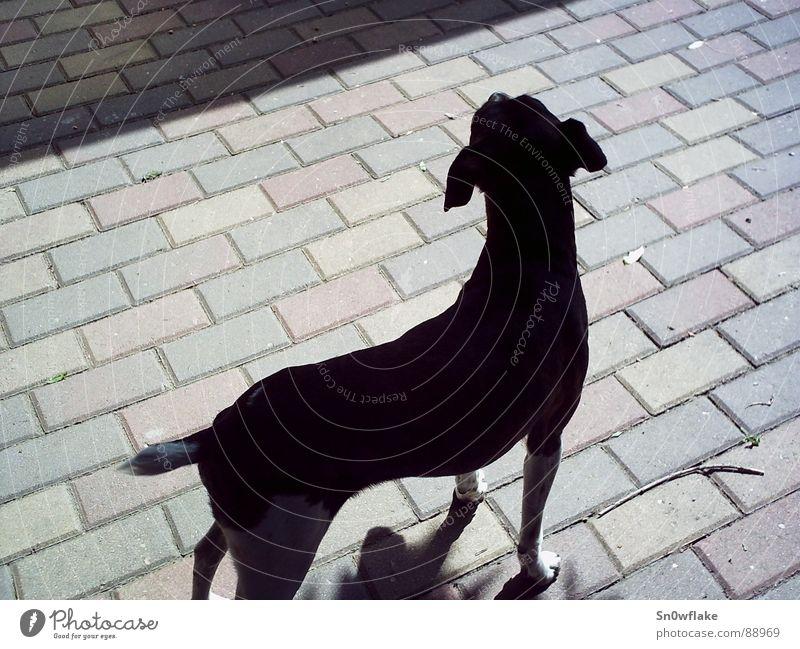 Schattenhund schön schwarz Tier Hund elegant Säugetier Ergonomie