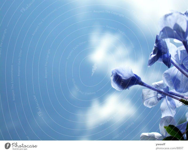 blaue Blumen Himmel Blue Flowers blue sky
