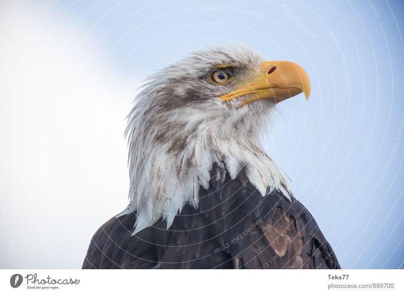 Weißkopfsee ADLER Natur Tier Vogel Adler Weisskopfseeadler gelb Kraft Willensstärke Farbfoto Außenaufnahme Nahaufnahme Menschenleer Schwache Tiefenschärfe