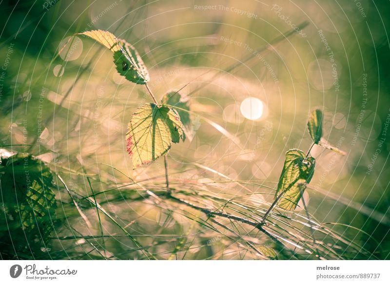 Gegenlicht Natur Pflanze Sonnenlicht Sommer Schönes Wetter Blatt Grünpflanze Blätter Gräser Grashalm Ast Äste Halm Feld Wald leuchten Wachstum hell braun gelb