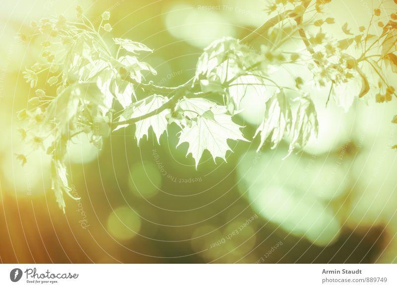 Ast - Gegenlicht - Bokeh harmonisch Natur Pflanze Luft Frühling Sommer Schönes Wetter Baum Ahorn Blatt Wald Blühend Wachstum ästhetisch fantastisch Fröhlichkeit